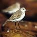 חופית מגלית - Photo (c) Frans Vandewalle,  זכויות יוצרים חלקיות (CC BY-NC)