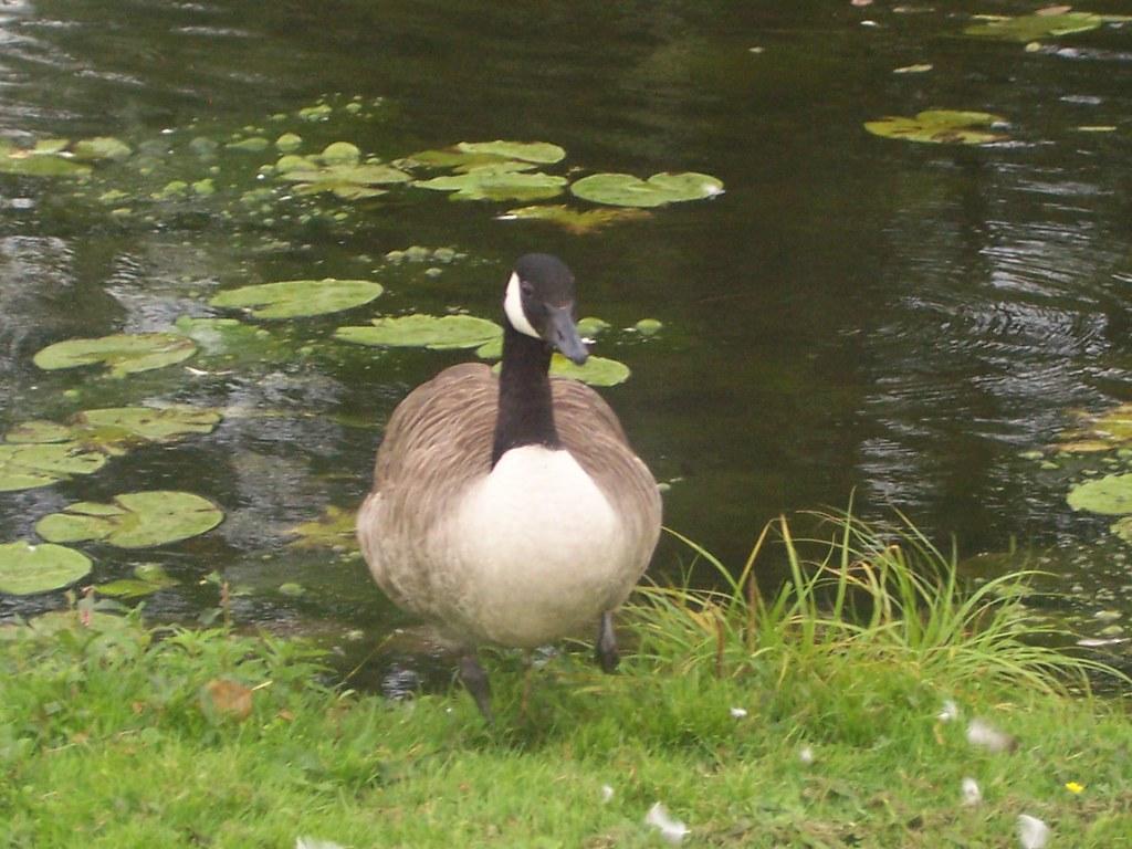 Bird  In Dronningholm, Sweden  Big Pussy Man  Flickr-9728