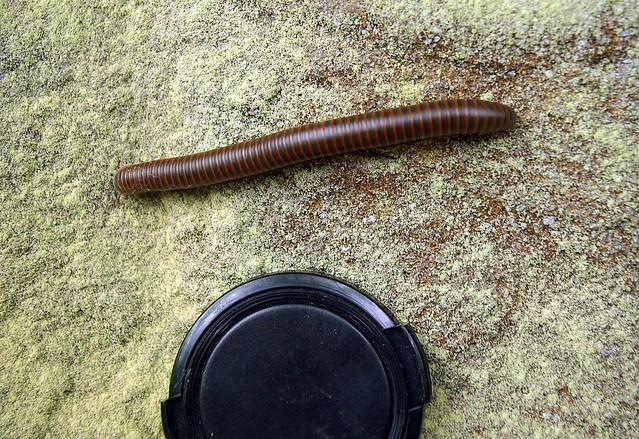 Narceus americanus, Sawmill Trail, Big South Fork NRAA, Picket Co, TN