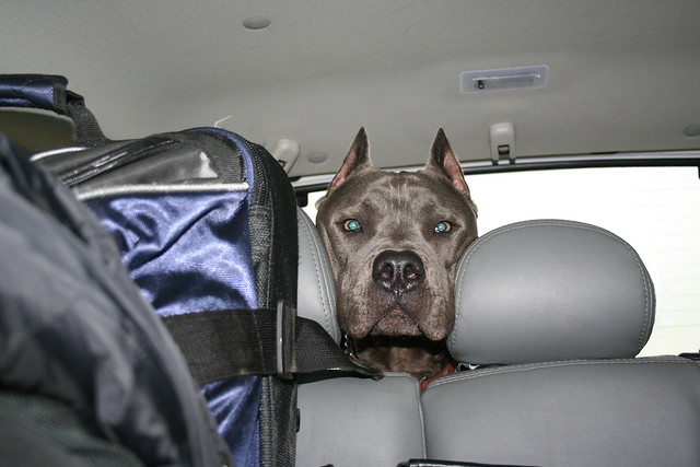 Cane Corso Mastiff breed