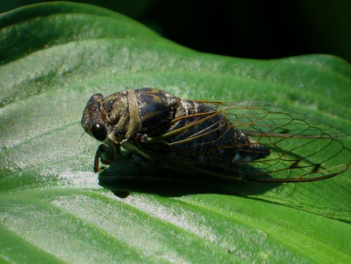 Cicada | by espie (on and off)