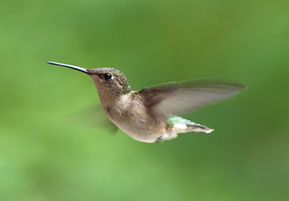 Hummingbird | by coltfan909