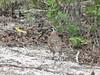 Black-throated (Yucatan) Bobwhite by Corey Husic