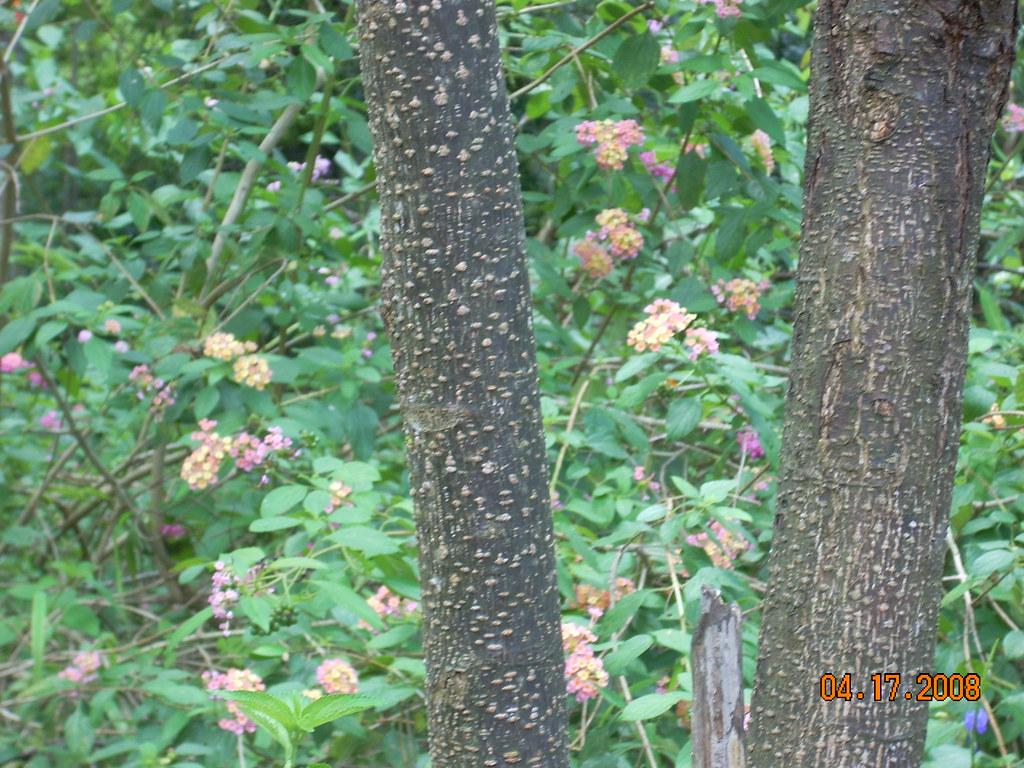 Malai vembu tree (tamil) | medicinal tree www mayoarts com