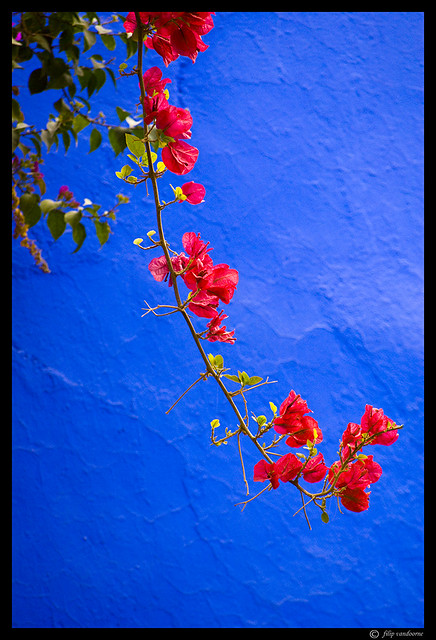 red flower on majorelle blue #1