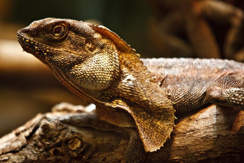 Image: Frilled-Neck Lizard