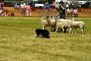 Sheep Dog Display | by Martin Pettitt