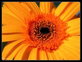 Sunrise Daisy | by Letting Go of Control