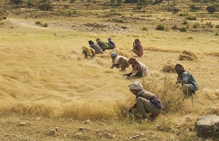 The Teff Harvest, Northern Ethiopia | by A.Davey