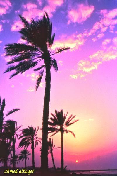 Palm Silhouette  غروب و نخيل