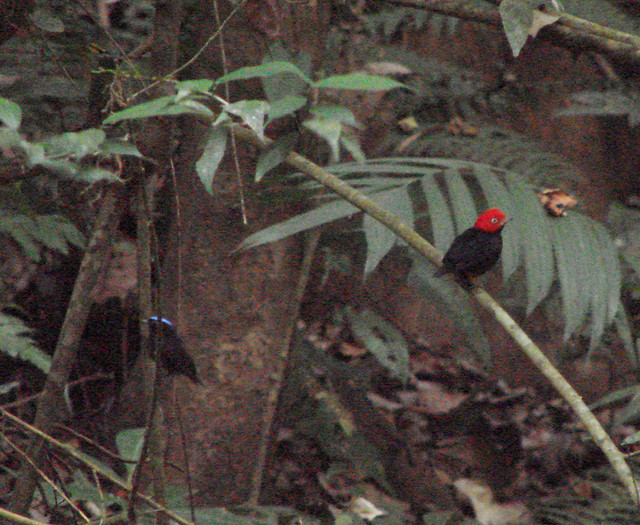 Blue-crowned Manakin and Red-capped Manakin
