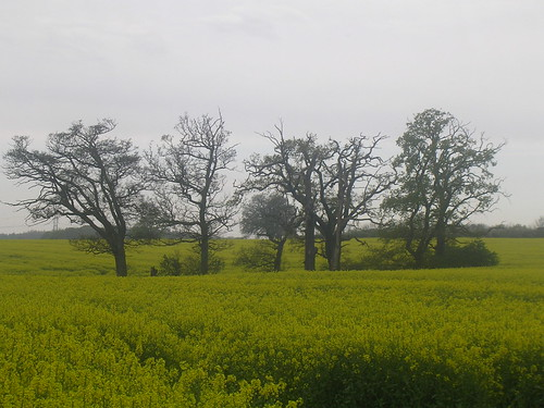Trees in a yellow sea Mortimer to Aldermaston