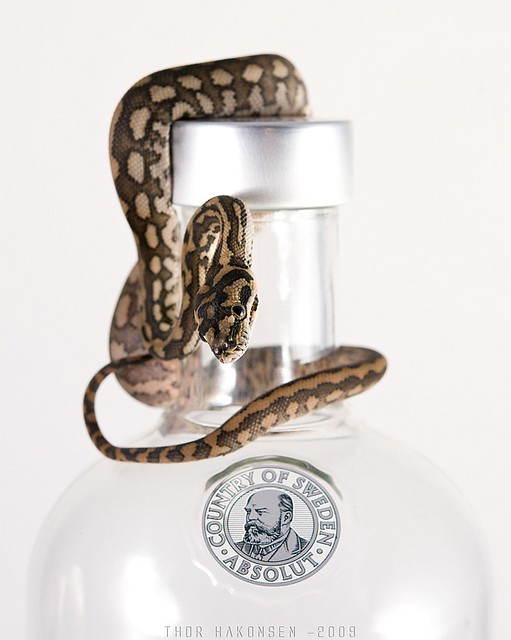 Morelia spilota mcdowelli - Absolut Vodka