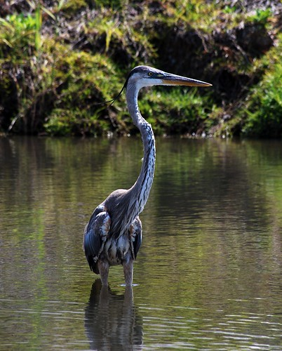 morning heron water fishing nikon greatblueheron d80 pensaoclabay