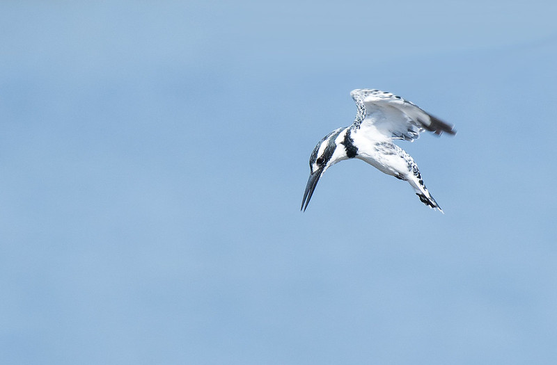 Pied Kinfisher hunting