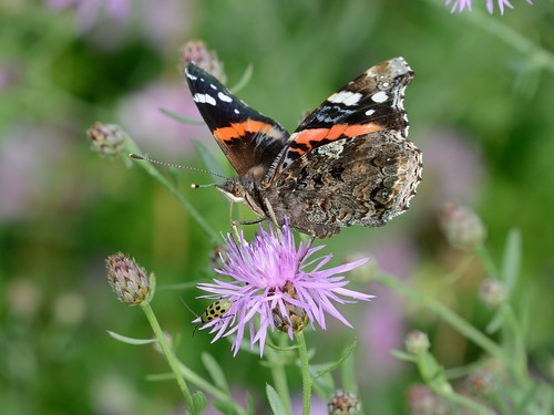 animal butterfly insect newjersey outdoor nj redadmiral edwinbforsythenationalwildliferefuge forsythenwr forsythenationalwildliferefuge gallowaytownship brigantinewildliferefuge