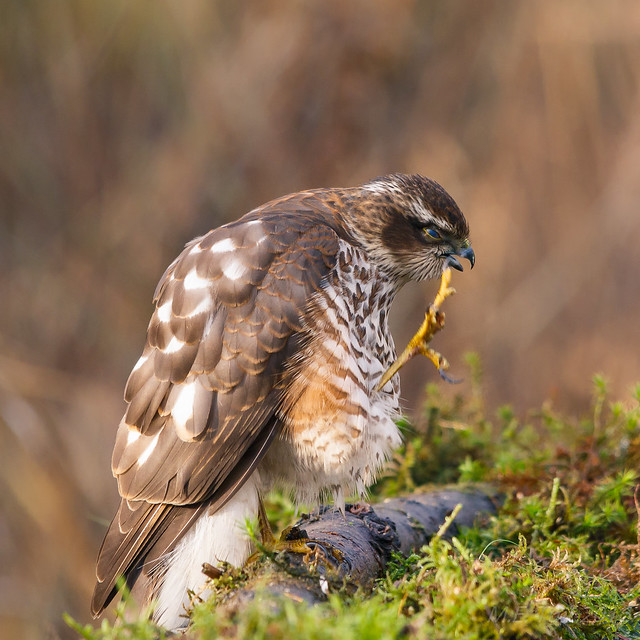 Sparrow hawk @ scratching time