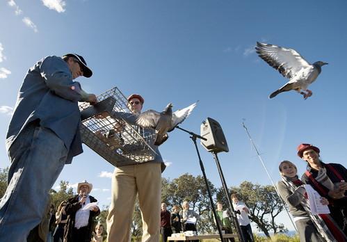 Three Pigeons released