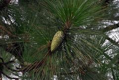 Longleaf Pine (Pinus palustris) Old First Presbyterian Graveyard