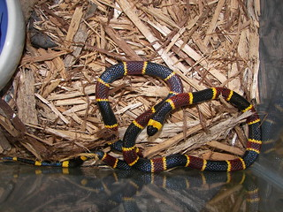 EASTERN CORAL SNAKE | by snakecollector