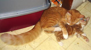 20080828 - new kitten, day 2 - 165-6579 - Oranjello - tackling Lemonjello - blue Lemonjello eyes