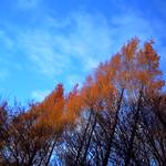 Thujopsis Toward the Sky