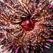 Flickr photo '12c. Urchin Mouth' by: kqedquest.