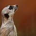 Image: Meerkat Moment