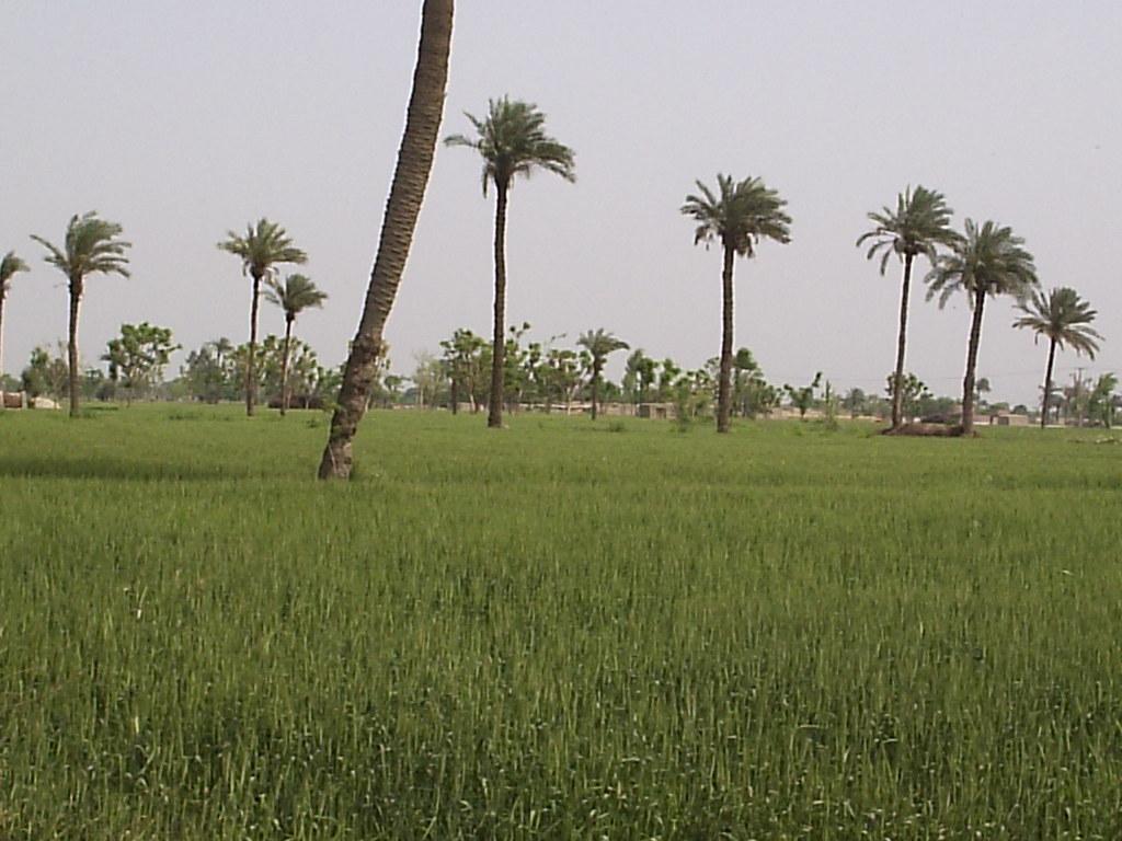 Pakistan Punjab Village Khajoor Ka Darakhat Beautiful Day