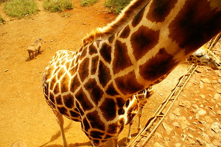 Giraffe View | by MarkAndMikeAbroad.com