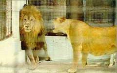 Male pride of a lion     and the wrath of a female lion
