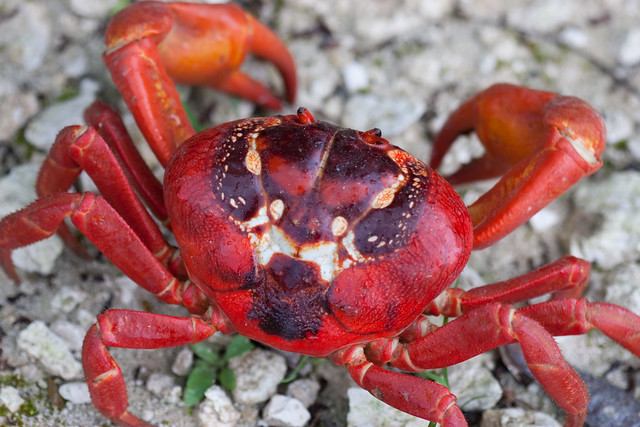 Christmas Island Red Crab.Christmas Island Red Crab Devil Face Christmas Island