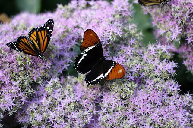 Papillons...