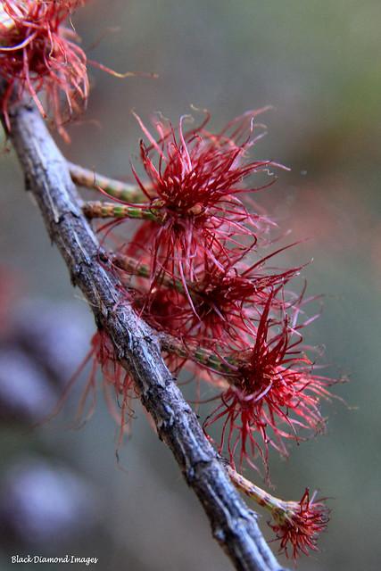 Allocasuarina littoralis - Black She-oak