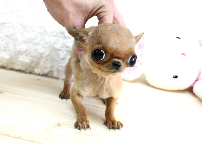 Coco Micro Teacup Chihuahua Boutique Teacup Puppies | Flickr