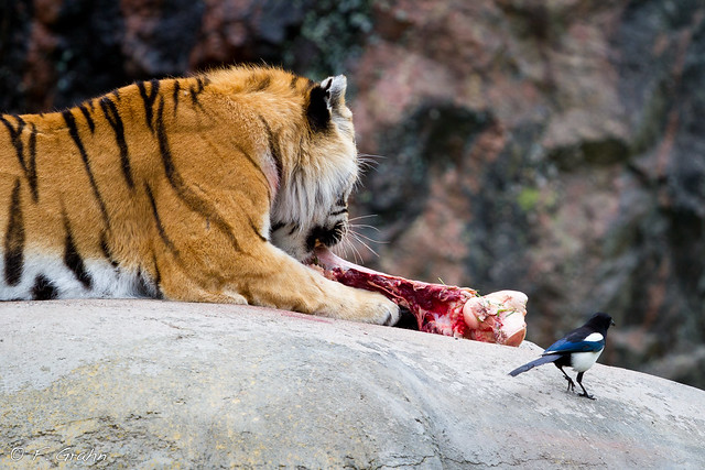 The Siberian Tiger and the Magpie