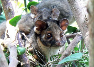 Ringtail possum family | by Monocotyledon