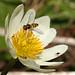 Flickr photo 'White Marsh Marigold - Caltha leptosepala' by: MT Lynette.