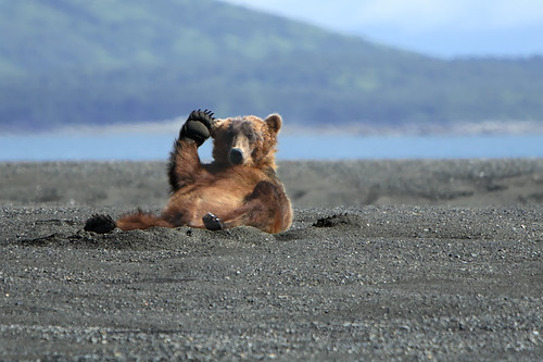 Alaskan Coastal Brown bear.....2