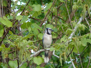 Bluejay in Hickory | by aphid dew