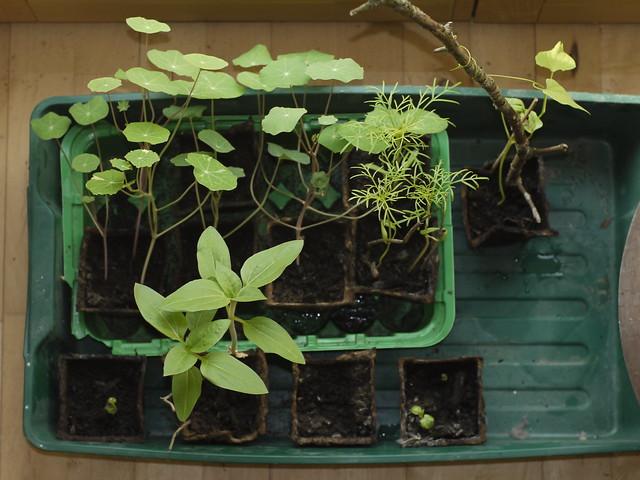 Seedling, Keimling, Anzucht, Vorzucht, Garten, Gardening