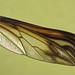 Comptosia quadripennis - wing