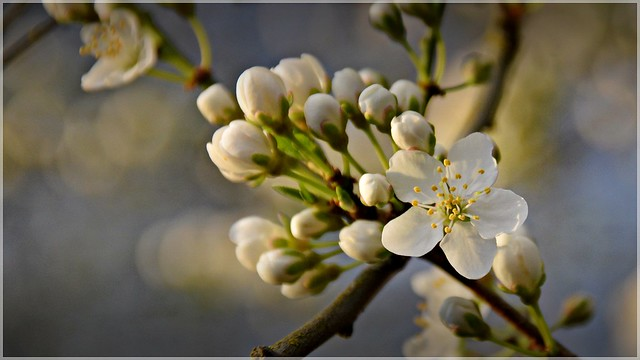 Plum tree blossoms 3 10 2014