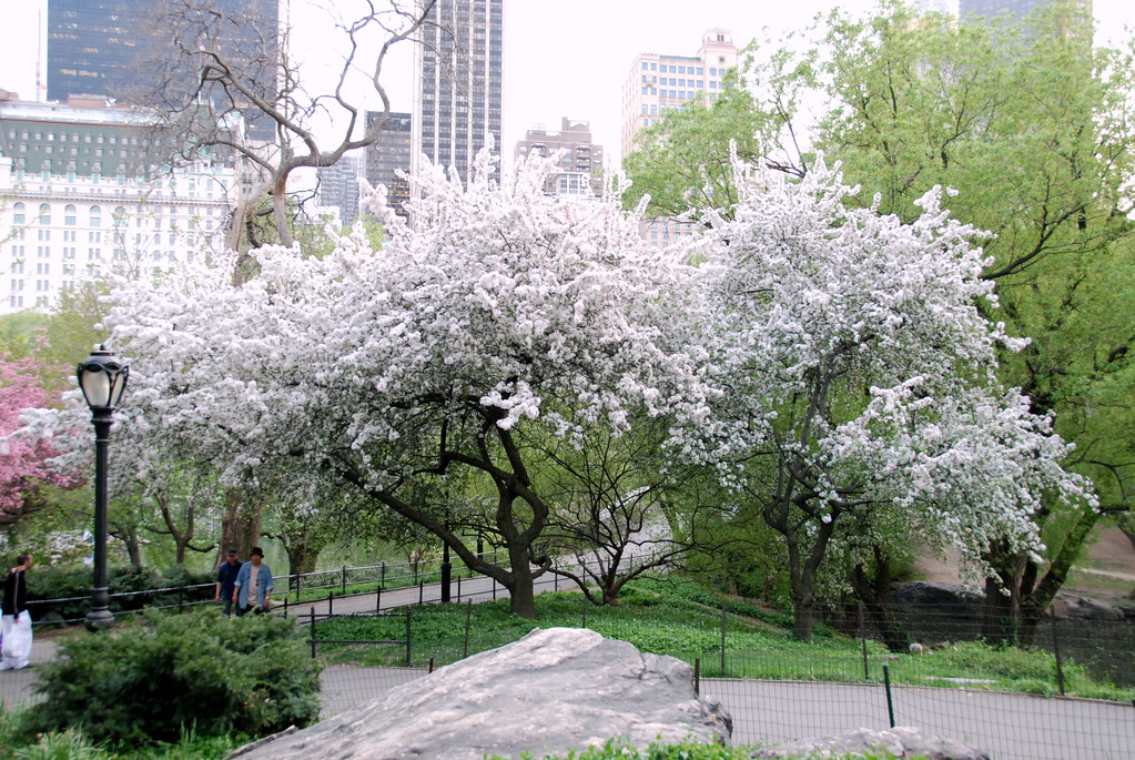 Photo Of White Magnolia Tree Taken Central Park Looking At Flickr