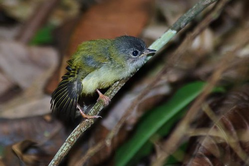 Black-capped Pygmy-Tyrant | by chlorophonia