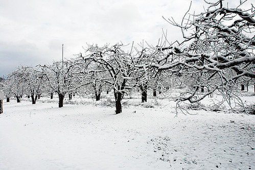 "california snow eldorado applehill tistheseason worldbest theunforgettablepictures ""flickraward"" thechallengefactory grind tree trunk branches shape photograph bent twisted landscape outdoors nature bark leaves"