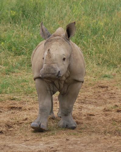 Baby S. White Rhino
