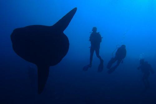 diving bali sunfish
