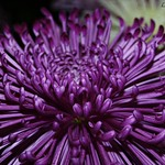 Mauve Spider Chrysanthemum