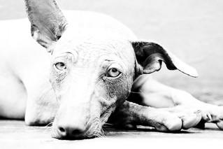 Perro sin pelo de Perú   by Carlos Adampol